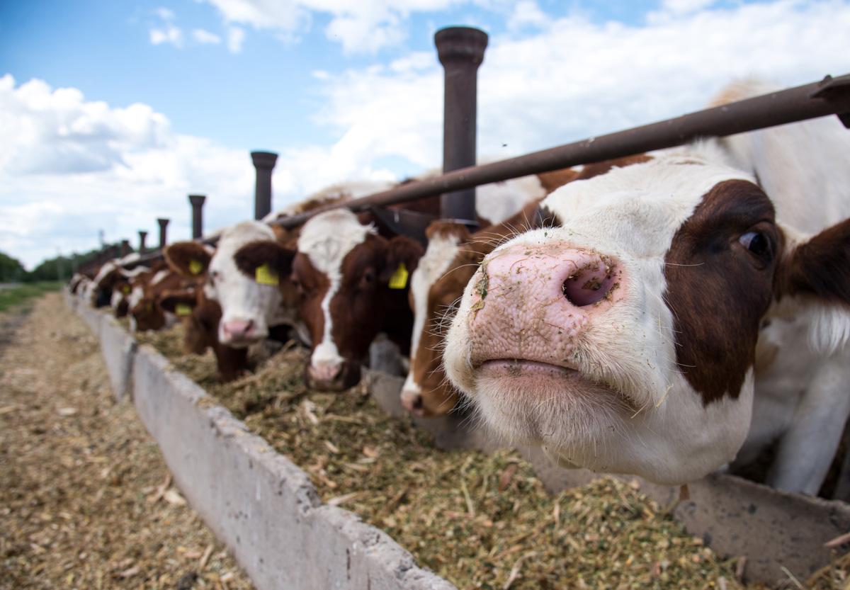 animal-feed-cows-feeding