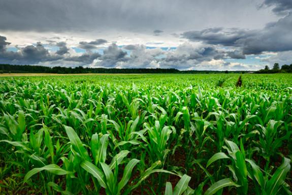 Maize is an ancient grain